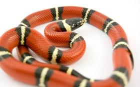 Картинка макро, змейка, яркая, молочная змея, светлый фон