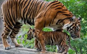 Обои бревно, детёныш, котёнок, тигры, тигрица, тигрёнок, материнство