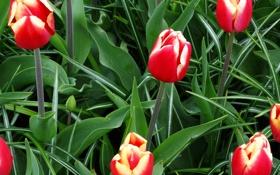 Обои листья, тюльпаны, бутоны, зелень, красные