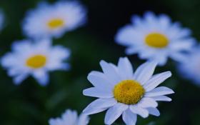 Картинка белый, цветок, макро, природа, поляна, ромашки, растения