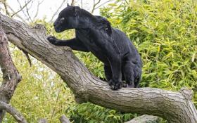 Обои чёрный, ©Tambako The Jaguar, кошка, ягуар, дерево