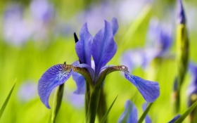 Обои цветок, синий, фон, размытость, ирис