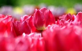 Обои весна, тюльпаны, много, розовые, паутинка