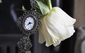 Обои роза, часы, белая, цветок