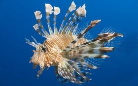 Обои рыба-лев, lion-fish, рыба, крылатка