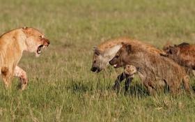 Обои кошка, трава, пасть, оскал, профиль, львица, гиены
