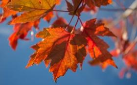 Картинка листья, осень, небо, макро, клен