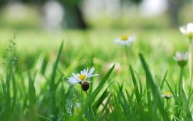 Обои цветочек, nature, wallpaper, трава, wides, белый, widescreen