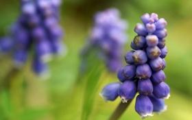 Обои цветок, цветы, весна, синие, мускари, muscari