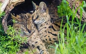 Картинка трава, кошки, пара, сервал, ©Tambako The Jaguar