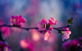 Картинка листья, розовый, боке, ветка, цветы, бутон
