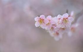 Картинка цветы, фон, ветка, сакура, розовые