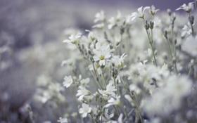 Картинка поле, цветы, размытость, белые