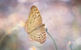 Картинка макро, бабочка, крылья, насекомое, боке
