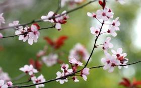 Обои цветы, природа, ветка, весна