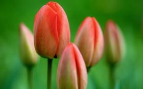 Картинка цветы, природа, фото, тюльпаны, красивые обои, full hd