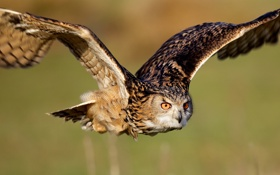 Обои сова, птица, полёт, крылья