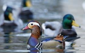 Обои краски, перья, утка, водоем, мандаринка