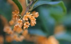 Картинка листья, цветы, природа, фокус, ветка