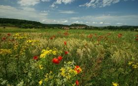 Картинка трава, цветы, природа, маки, луг