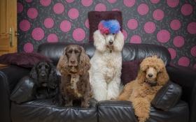 Картинка животные, собаки, диван, сидят, смешные, пудели, коккер-спаниэли