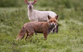 Обои поляна, рыжая, лиса, овца
