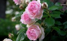 Обои листья, бутоны, розы, нежность