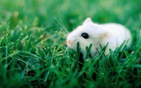 Обои трава, глаза, белая, черные, крыска