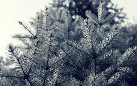 Обои макро, деревья, иголки, ветки, природа, ель, nature