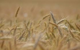 Обои поле, природа, колосья