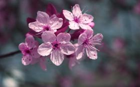 Картинка макро, цветы, вишня, цвет, ветка, весна, лепестки