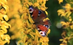 Обои павлиний глаз, природа, бабочка, цветник, макро, цветы