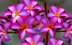 Картинка цветы, природа, дерево, бабочка, лепестки, мотылек, плюмерия
