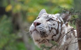 Картинка дикая кошка, морда, интерес, любопытство, взгляд вверх, белый тигр, внимание