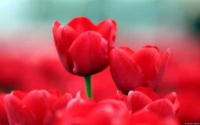 Обои цветы, тюльпаны, красные