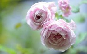 Картинка капли, розы, бутоны, боке