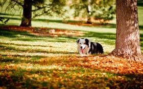 Обои друг, осень, парк, собака