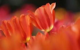 Картинка природа, весна, тюльпаны, оранжевые