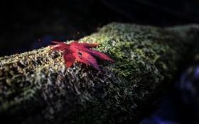 Картинка осень, красный, лист, дерево, мох, фокус, ствол