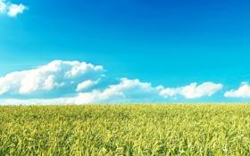 Обои облака, горизонт, небо, рожь, злаки, поле, пшеница
