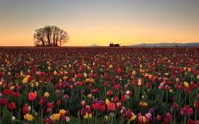 Обои поле, утро, тюлпаны