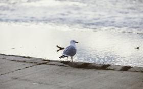 Картинка смотрит, чайка, клюв, набережная, птица, перья