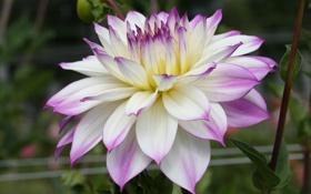 Обои георгин, осень, цветение, лепестки, бело-фиолетовая, бутон