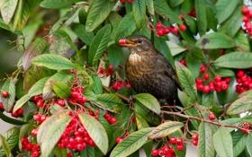 Картинка листья, ягоды, птица, ветка, дрозд