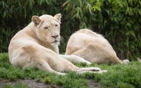 Обои трава, кошки, отдых, львица, белые львы