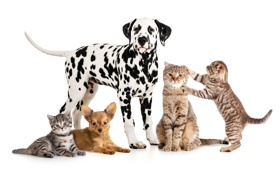 Обои котята, кошки, собаки, белый фон, чихуахуа, далматин