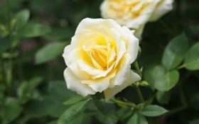 Обои листья, роза, бутон