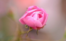 Обои роза, цветок, лепестки, бутон