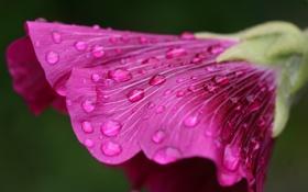 Обои цветок, капли, макро, вниз, пелюстки