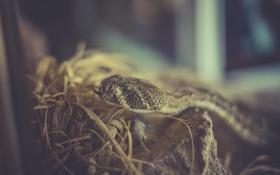 Обои язык, глаз, змея, гремучая змея